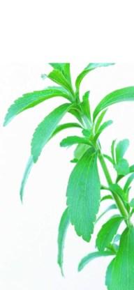 Stevia rebaudiana. corbis