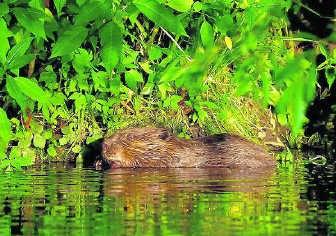 'De bever is de superstar van het natuurbeheer', zegt Rubbers.rr