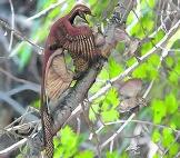 Microraptor heeft een vogel gevangen. Brian Choo/ pnas