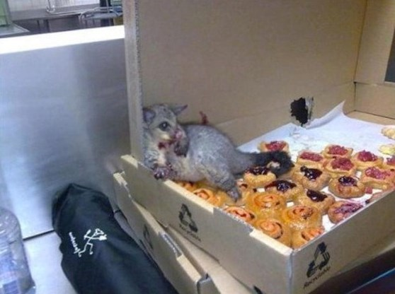 Buidelrat eet te veel gebakjes en moet even uitrusten
