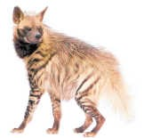 Hyena's proeven geen zoet.ss