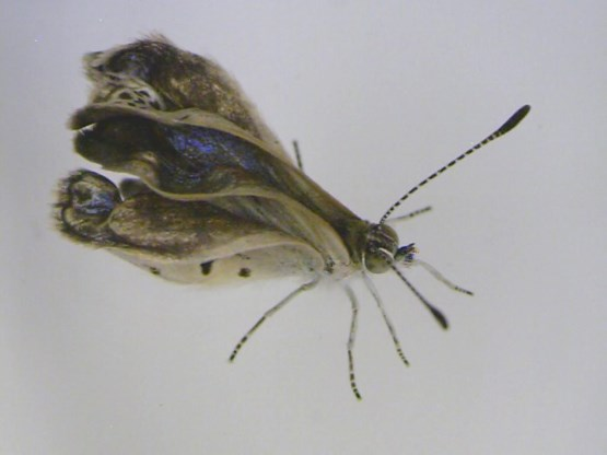 Gemuteerde vlinders aangetroffen nabij Fukushima