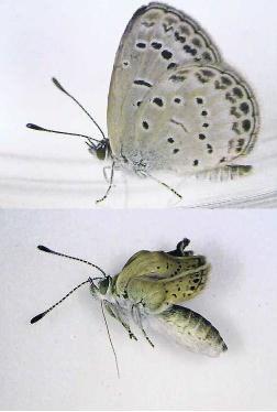 Zoek de zeven verschillen. Nabij Fukushima werden              onlangs gemuteerde vlinders aangetroffen.