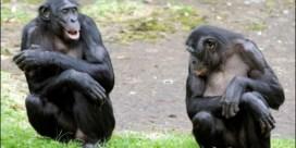 Chimpansees herkennen elkaars billen