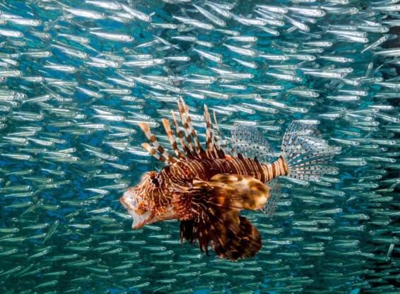 Grote vissen worden zeldzamer. Hierboven één koraalduivel en heel veel koornaarvisjes.