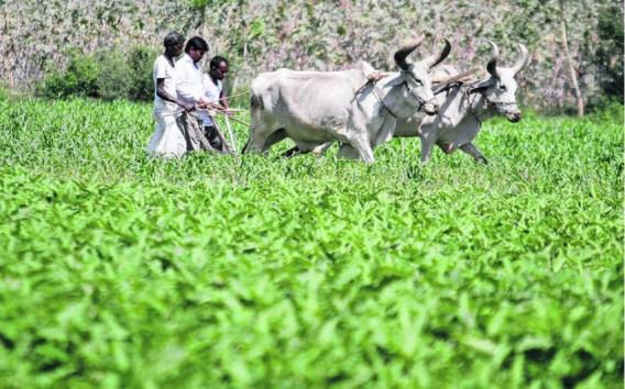 <P>Boeren werken op hun guarveld. Met deverkoop van het gegeerde zaad kunnen ze straks waarschijnlijk een tractor kopen.</P>