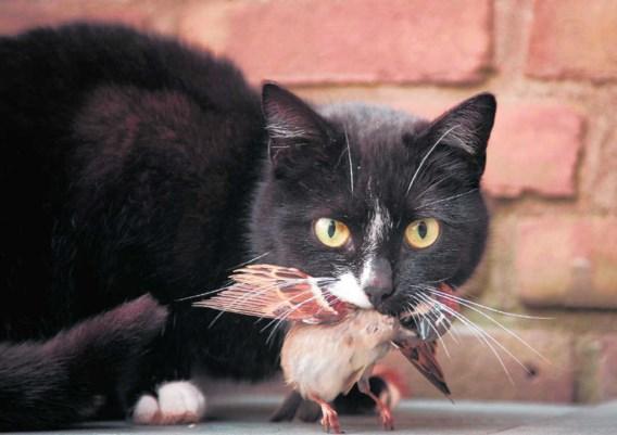 Alleen al door haar vleesverbruik veroorzaakt de Belgische kattenpopulatie evenveel broeikasgasuitstoot als een gezinsauto die 25.000 keer rond de aarde rijdt.