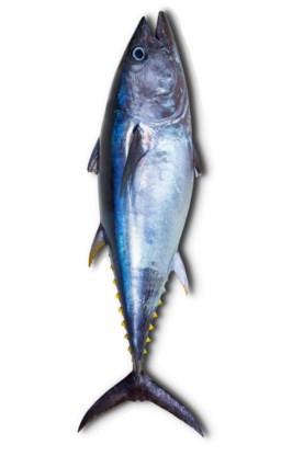 Het zou niet slecht zijn om in de plaats van tonijn (foto) kleinere vissen te eten.