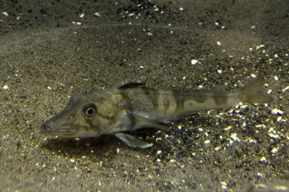 'IJsvis' in aquarium Tokio met doorzichtig bloed