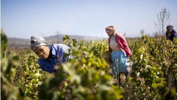 Lindewe plukt druiven voor de oogst in Koopmanskloof, een groot wijndomein nabij de stad Stellenbosch dat werkt volgens de principes van Fair Trade en Black Empowerment. Een positief verhaal, want arbeiders krijgen er een opleiding om zelf het productieproces in handen te nemen en zo uit een minderwaardige positie op te klimmen.