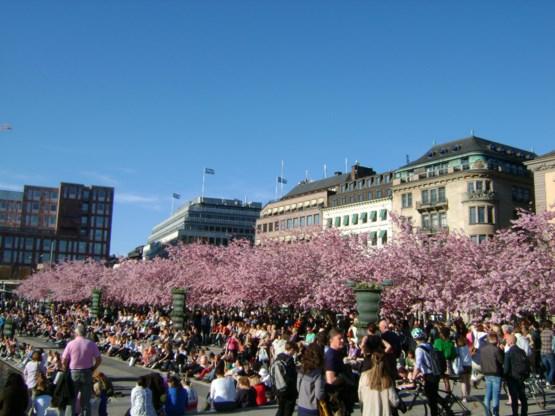 BLOG. Zweden - Kersenbloesems