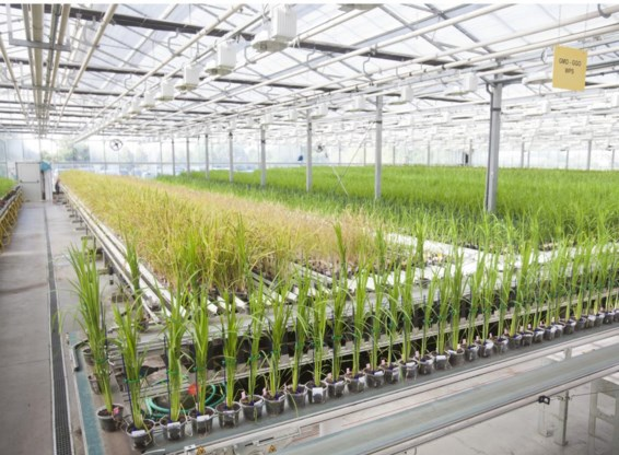 Met 140.000 planten per jaar heeft CropDesign het grootste rijstgroeiplatform van Europa.