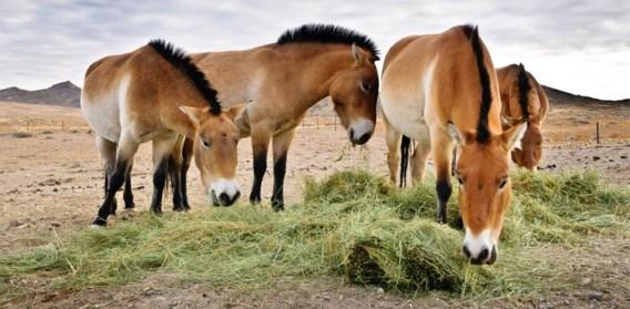 Verrassende conclusie: het przewalskipaard heeft géén bijmenging van moderne gedomesticeerde paarden.