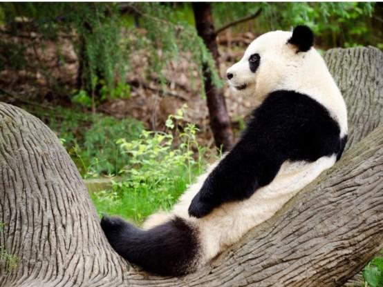 De Chinese reuzenpanda's worden ongetwijfeld publiekstrekkers.