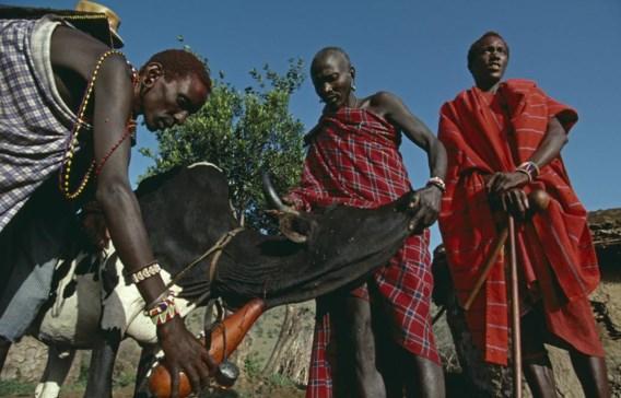 Masai in Kenia vangen het bloed van een koe op. Ze drinken het gemengd met melk.