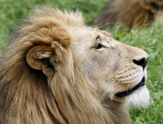 De leeuw verdwijnt uit de West-Afrikaanse natuurparken.