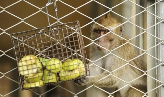 Java-aapje, straks ook met menselijke genen.