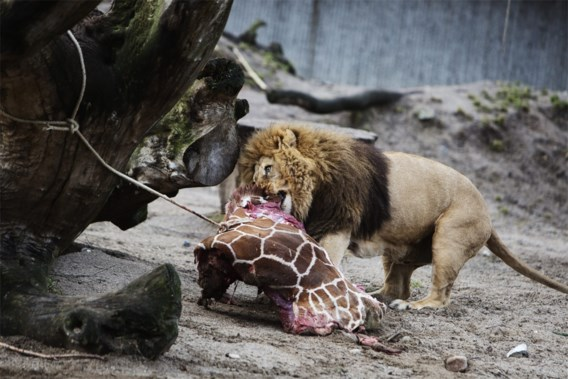 Personeel zoo Kopenhagen krijgt doodsbedreigingen na 'moord' op giraf