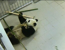Panda's enkel op video te zien