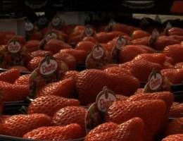 Ze zijn er! De eerste Belgische aardbeien