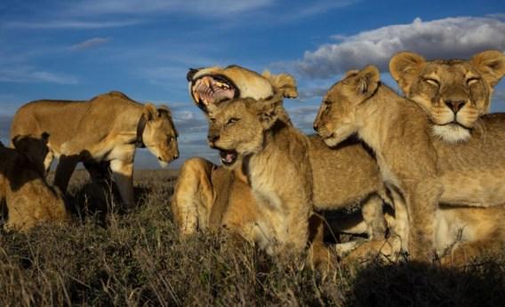 'Van alle grote katten zijn leeuwen het meest sociaal.'