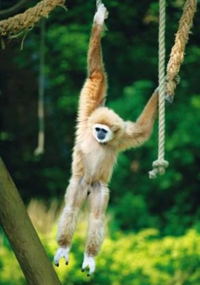 Hoe hangt een gibbon? Daar kom je alleen dankzij de zoo achter.