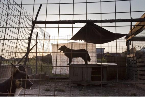 Elk jaar zijn er wel toeristen die een hondje meebrengen uit landen waar hondsdolheid nog voorkomt,  met alle gevaren van dien (op de foto: honden in een Roemeense kennel).