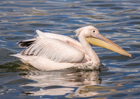 Pogingen om ontsnapte pelikanen Paira Daiza te vangen al zes keer mislukt