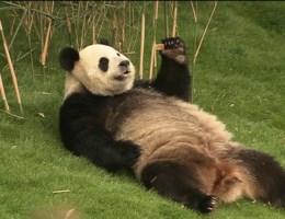 Chinese president bezoekt panda's