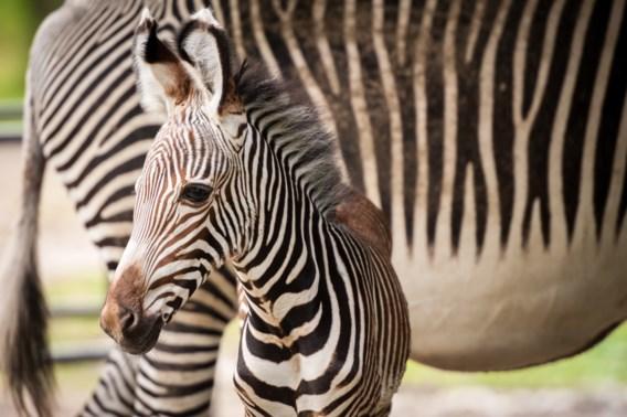 Daarom hebben zebra's strepen