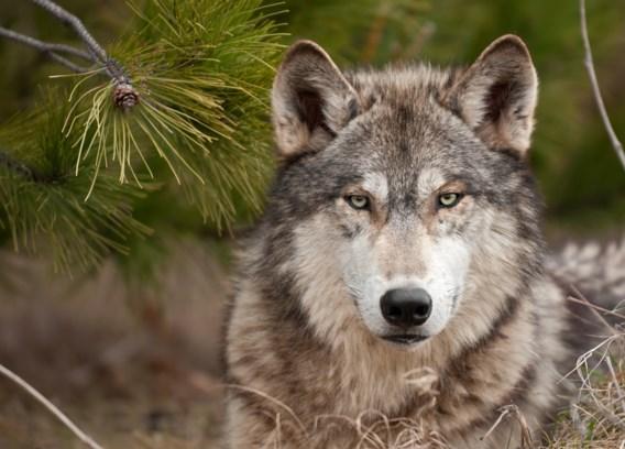 De wolf komt dichterbij: 'We moeten dringend plan voorbereiden'