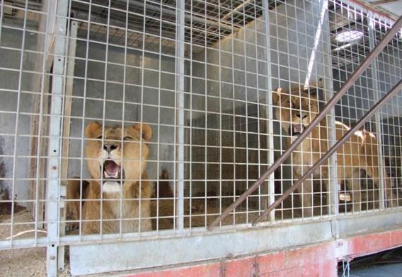 De leeuwen werden in een trailer naar Opglabbeek gebracht.