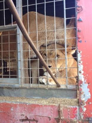 Vier leeuwen in beslag genomen bij circus in Luik