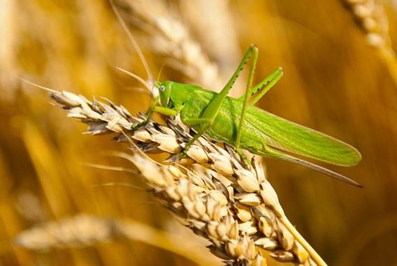 Deze insecten zijn eetbaar