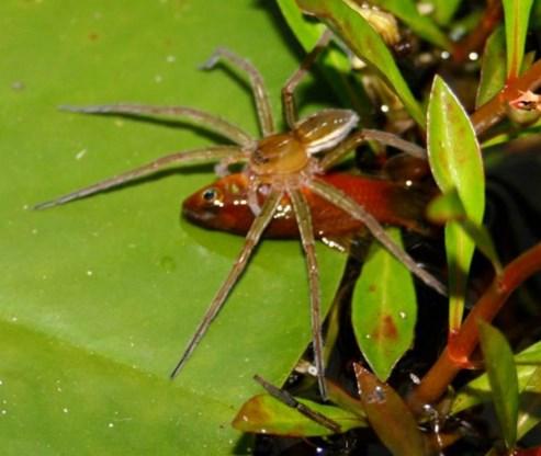 Visetende spinnen ontdekt