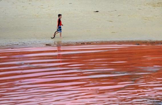 Zeewater dat verandert in een rode soep? Het gevolg van exuberante algengroei, zoals hier in Sydney, Australië..