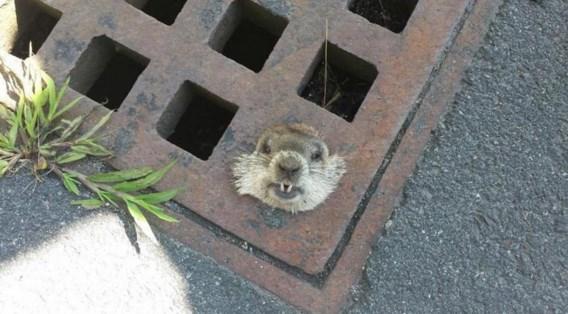 Politie bevrijdt marmot uit rioolrooster