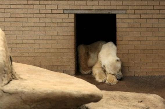 Afrika's laatste ijsbeer gestorven