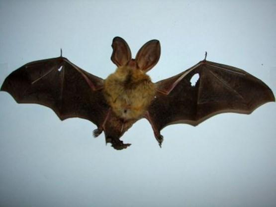 Uitgestorven gewaande mopsvleermuis duikt op in Waasland