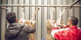 Ook Wallonië wil einde aan onverdoofd slachten