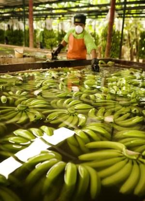 De Britse keten Sainsbury verkoopt alleen nog Fairtrade-bananen en past het prijsverschil zelf bij.