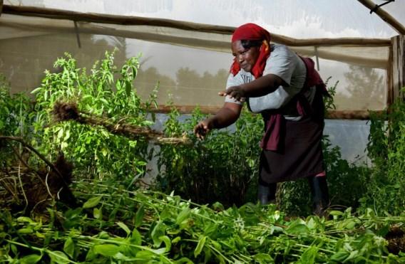 Een Keniase boerin gooit basilicum weg. 'De klant wil geen steel die te dik is.'