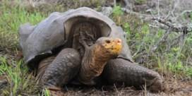 Galapagos-reuzenschildpad ontsnapt aan uitsterven