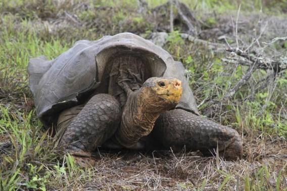 Reuzenschildpadden van uitsterven gered