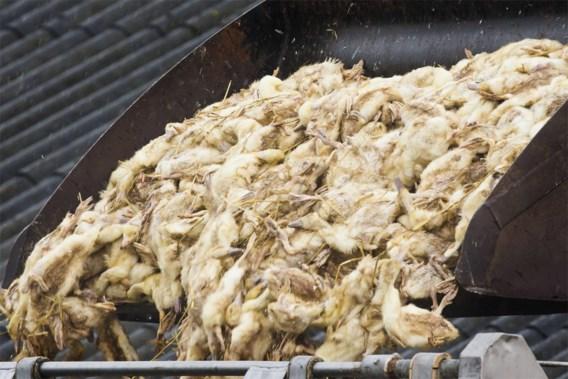 Geen vogelgriep in bedrijf waar eenden werden afgemaakt