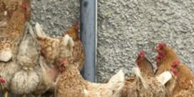 15. Houd een kip en leg een composthoop aan