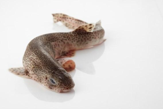 Hondshaai verkozen tot vis van het jaar