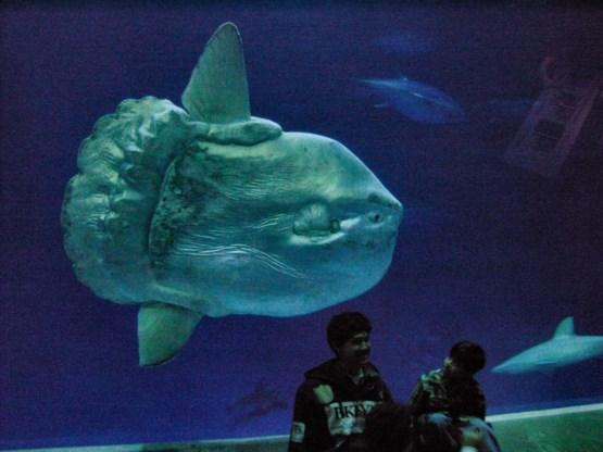 Een maanvis in het aquarium van Monterey. De bezoekers geven een idee van zijn formaat.