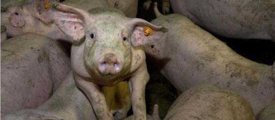 De Vlaamse varkenshouderij zit in een crisis.