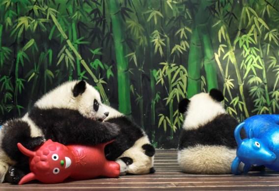 Populatie reuzenpanda's stijgt voor het eerst weer